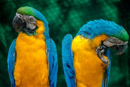 blauwe en gele ara