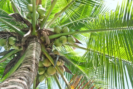 Coconut is a perennial plant that has a big impact in the water is drinkable. And solve a variety of diseases. Economies of many countries into a tree. Including Thailand.