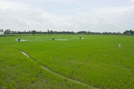 a farmer prepares the ground in growwing plant the agricultural , do transplanting rice seedlings for do something , inject a medicine for kill an insect , a farmer must do the farm through all year in year that have fertile water , this a farmer in Thail photo