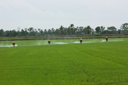 transplanting: a farmer prepares the ground in growwing plant the agricultural , do transplanting rice seedlings for do something , inject a medicine for kill an insect , a farmer must do the farm through all year in year that have fertile water , this a farmer in Thail