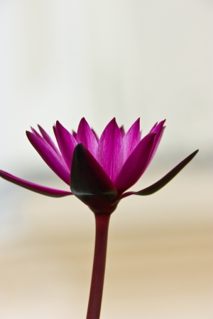 savant: lotus , be beauty symbol , in Thailand likes to lead the lotus comes to worship savant monk , monk , or , religion guide , of the Buddhism , they have the belief that , the virginity of the lotus , mind give they have gotten close a religion Stock Photo