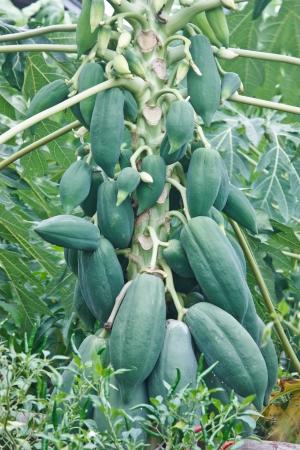 papaya, ser ni�o grande grande sequ�a perenne resistente, durable lluvia lleva a comer y se puede pretender la comida variada