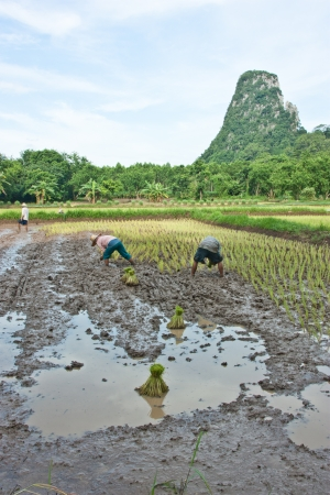 Farmers grow rice in the rainy season  They were soaked with water and mud to be prepared for planting   wait three months to harvest crops