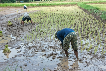 be soaked: Farmers grow rice in the rainy season  They were soaked with water and mud to be prepared for planting   wait three months to harvest crops