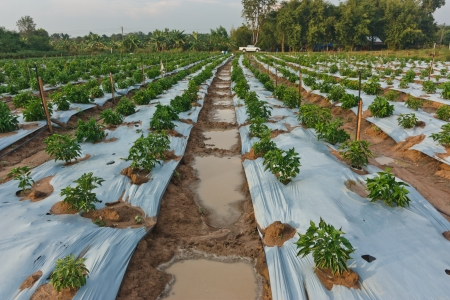cultivator: Chili pepper farmers planted crops  The pepper plant is a lot to see in a row  Care for easier watering  Harvest, quick and convenient  Stock Photo
