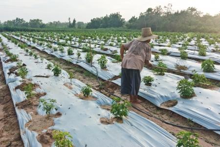 Chile pimiento agricultores sembraron cultivos La planta del pimiento es mucho que ver en una fila para Cuidado Cosecha de riego m�s f�cil, r�pido y conveniente Foto de archivo