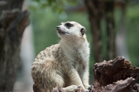 Meerkat animal is active  Enemies can run away quickly  Often have a habit of vigilance  Precautions at all times  photo