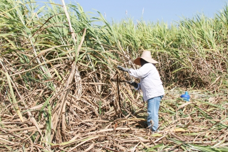 Plantation of sugarcane photo