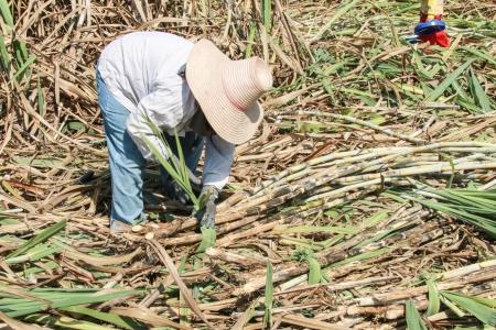 Plantation of sugarcane
