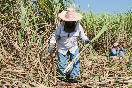Plantation of sugarcane