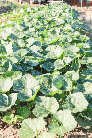 facilitate: Cabbage is a furrow of soil  To facilitate providing water to plants  And yield good harvest hassle