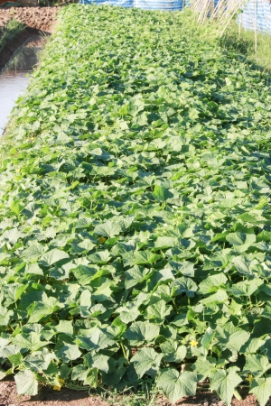 furrow: Cabbage is a furrow of soil  To facilitate providing water to plants  And yield good harvest hassle