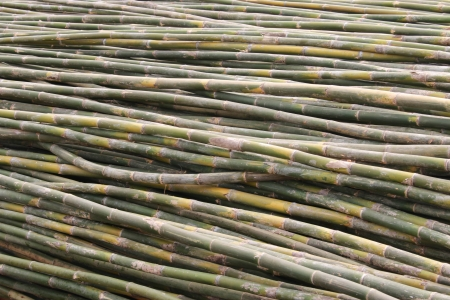 utilized: Bamboo is a grass family tree A tall, very Utilized by many. Leaves also become food for the pandas as well. Stock Photo