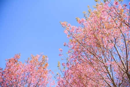 Flowers tiger Or cherry blossoms Flowers in Thailand Flowering season Natural beauty in the Apocalypse. As a tourist attraction
