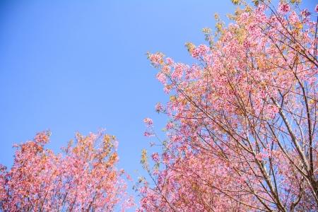 Flores tigre o flores de cerezo Flores en la temporada de floraci�n Tailandia Belleza natural en el Apocalipsis. Como una atracci�n tur�stica Foto de archivo