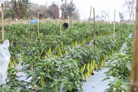 spicy plant: Pepper is a plant with many kinds of spicy food is so delicious when taken to the next with the other treatments. Is widely popular around the world