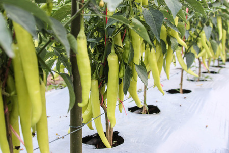 La pimienta es una planta con muchos tipos de comida picante es tan delicioso cuando se toma a la siguiente con los otros tratamientos. Es muy popular en todo el mundo