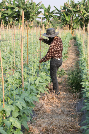 the fruitful: Cucumber plants are easy to grow annual crops like water is creeping along the branches fruitful ground lead to a species.
