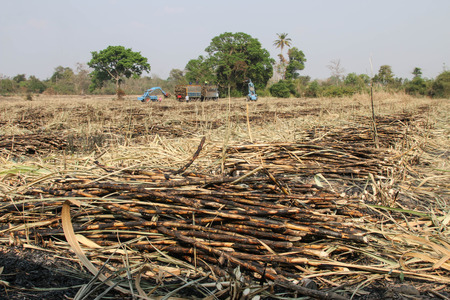livelihood: Sugarcane farmers are farmers who rely on the diligence of livelihood. A lot of sugar cane Enough to yield a living. Stock Photo