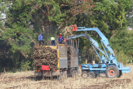 livelihood: Sugarcane farmers are farmers who rely on the diligence of livelihood. A lot of sugar cane Enough to yield a living. Editorial