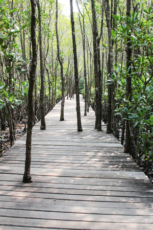 Mangrove forest is formed by the sea. As a Saltwater Plant A habitat for many marine animals. A major attraction photo