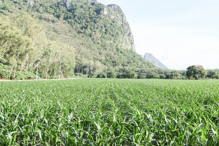mostly: Corn was planted at any season. Vitreous is mostly residential The plant is sad economy made a decent income for farmers. Planted worldwide Stock Photo