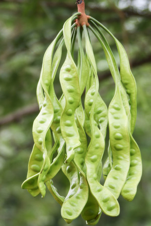 Sato is a perennial in the pea family. Branches are finely hairy leaves of a feather bunk. Be issued bouquets at the end of the book, King Thailand plans.