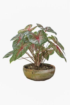 Wings are not wanting to take reasonable care to flourish. Desert Rose is a regular leaf sheath. To raise the need for as much, if not enough. Wings will start collapsed Difficult to recover photo