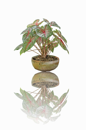 wanting: Wings are not wanting to take reasonable care to flourish. Desert Rose is a regular leaf sheath. To raise the need for as much, if not enough. Wings will start collapsed Difficult to recover Stock Photo