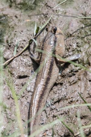 속에서 분류 된 mudskipper 물고기. 웡 Periophthalmodon 고비 (Gobiidae) 작은 물고기. 낚시 능력, 표본의 길이는 약 10cm였다.