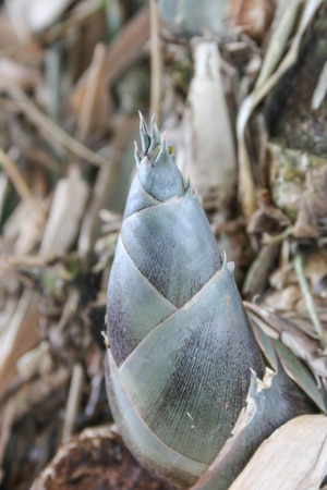 Bamboo shoots are perennial The grass family is the highest in the world. Be used for many things. There are many medicina photo
