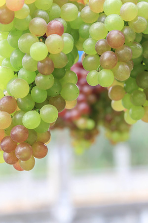 shrub: Grapes are perennial plants There is a creeping shrub Looks solid and the trunk. King forever over one season, if allowed to grow naturally to wiggle Island branches. Stock Photo