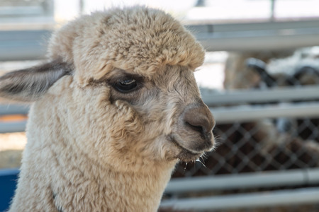 Pushkin is the scientific name Vicugna pacos a mammal in the family camel. Is similar to the drug photo