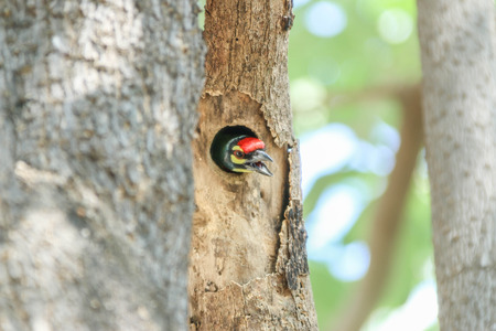 making hole: Asian barbet Nest in tree holes With wood drills a hole like a woodpecker. The birds of the same rank The cavity of Barbet will fit, making access to the nest, maybe not as much as a woodpecker. Stock Photo