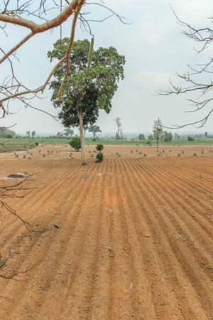Planting cassava plantation It is very popular in rural areas. The plant is easily grown Do not require much water A cash crop export. photo