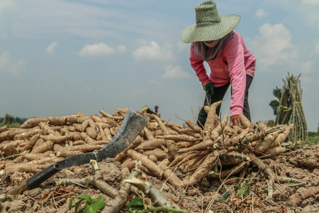 Planting cassava plantation It is very popular in rural areas. The plant is easily grown Do not require much water A cash crop export.