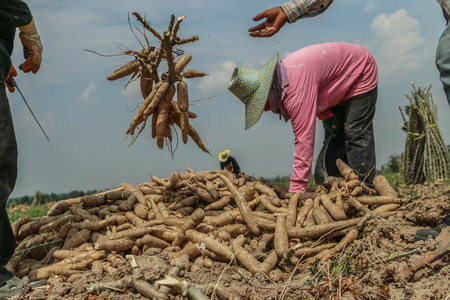 starchy food: Planting cassava plantation It is very popular in rural areas. The plant is easily grown Do not require much water A cash crop export.