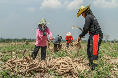 cash crop: Planting cassava plantation It is very popular in rural areas. The plant is easily grown Do not require much water A cash crop export.