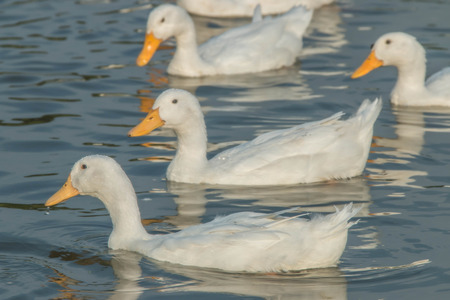 Poultry Ducks are in the family Anatidae (Anatidae) Mouth-inch flat foot flat between the membrane attached to a pool of many colors such as brown, white, green, pink, purple, smaller than a goose. photo
