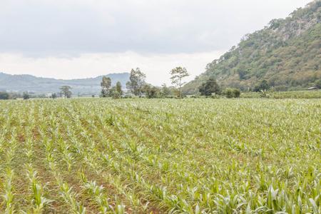 exceeding: Ma�z dulce es una planta por un per�odo no superior a 75 d�as de la siembra de ma�z que ha sido muy populares son el ma�z dulce de ma�z. �Hay una manera de hacer crecer el ma�z es muy f�cil. Foto de archivo