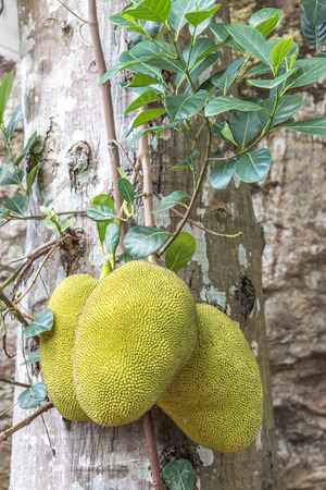 ruthless: Jackfruit. Scientific name: Artocarpus heterophyllus Lam. Common name: Jack fruit tree ... heart jackfruit sapodilla jackfruit leather or  a sweet succulent spinach. Tonic and blood make ruthless