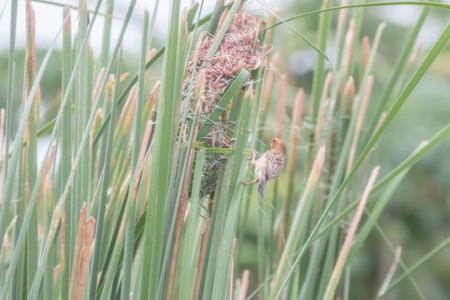 boca sana: Ricebird una boca sana los cape boca corto tirar de los insectos picoteo. Luego de averiguar las diferentes plantas de granos para comer carne. Tambi�n fue utilizado l�grima la hierba variedad de hoja de palma. Foto de archivo