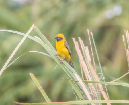 figure out: Ricebird a healthy mouth the mouth cape short pull the pecking insects. Then figure out the different plants from grains to eat meat. It was also used tear the grass palm leaf variety.