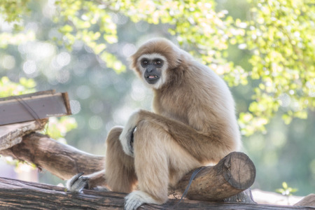 primates: Gibbons Wong: Hylobatidae; UK: Gibbon classified in the phylum chordate. Floor mammal primate Primates is the ape.