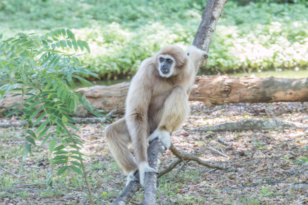 phylum: Gibbons Wong: Hylobatidae; UK: Gibbon classified in the phylum chordate. Floor mammal primate Primates is the ape.