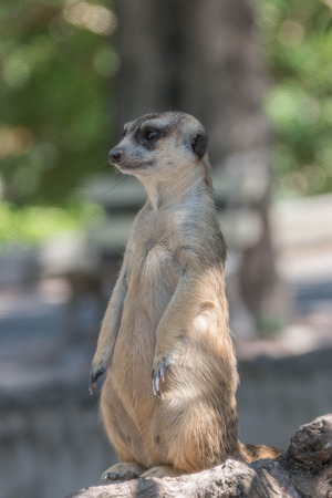 enemies: Meerkat animal is active. Enemies can run away quickly. Often have a habit of vigilance. Precautions at all times.