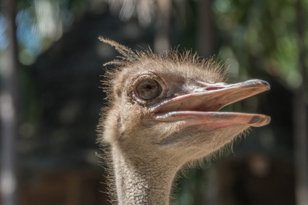 vertebrates: Ostrich Scientific Name: Struthio camelus are classified as vertebrates. A bird that is the largest in the world. Originated in Africa Stock Photo
