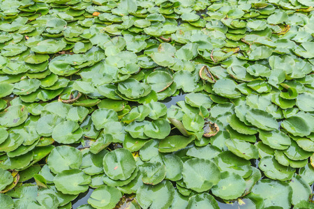Lotus water plants are considered a symbol of pure and virtuous Buddhist. Buddha compares the human intellect with the growth of the lotus. Stock Photo