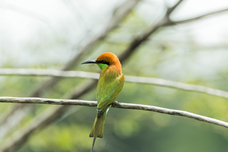 figure out: Ricebird a healthy mouth, the mouth cape short pull the pecking insects. Then figure out the different plants from grains to eat meat. It was also used tear the grass, palm leaf variety.