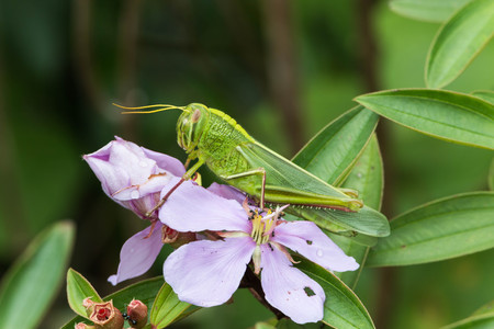shorter: Locusts, grasshoppers have short antennae almost a mirror of a shortened. Gu shorter species of locusts that sounds simple. Hide legs caused by rubbing their wings.